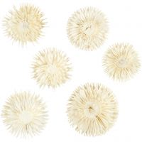 Capolini secchi, diam: 3-5 cm, 6 pz/ 1 conf.