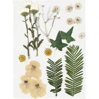 Fiori e foglie pressati, avorio, 19 asst./ 1 conf.